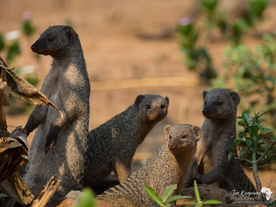 Family of Banded Mongoose