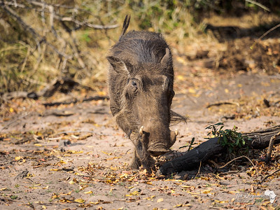 Warthog on the Chobe Banks