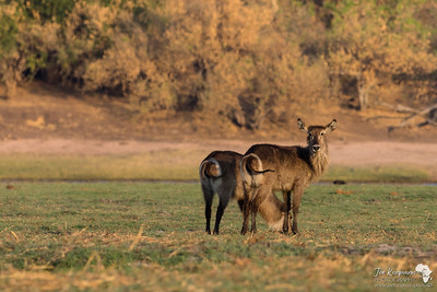 Waterbuck in Evening Light