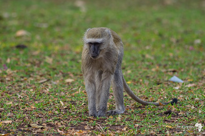Vervet Monkey in Kasane