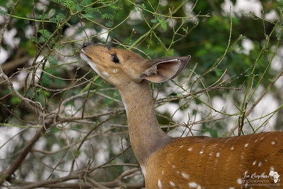 If Bambi lived in Africa....