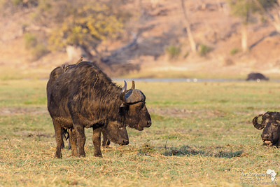 Buffalo taking it easy on the Chobe River