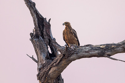 Tawny Eagle with Breakfast at dawn