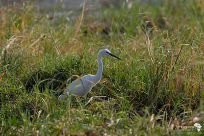 Little Egret in the Grass