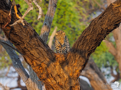 Morning light on a Leopard