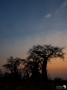 Baobab Silhouette