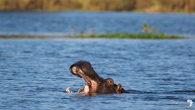 Hippo in the Deep End