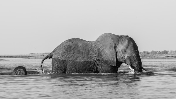 Baby and mother crossing the Chobe River