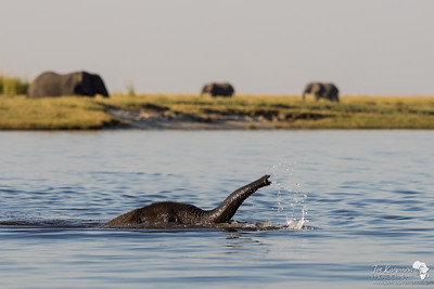 A Baby Elephant Takes A Swim