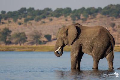 Elephant enjoying the afternoon on the Chobe