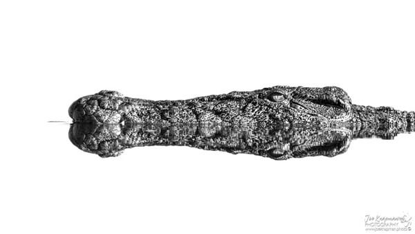 Stealthy Crocodile in the Chobe River