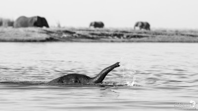 A very young baby elephant swimming across the Chobe