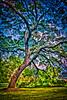 Dramatic Pin Oak #7