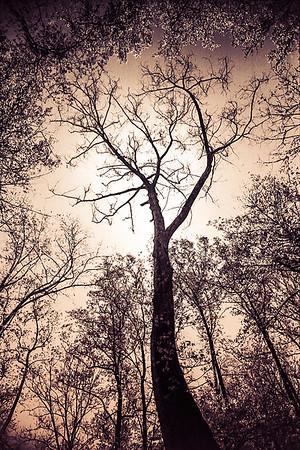 Sycamore Tree, Split Tone