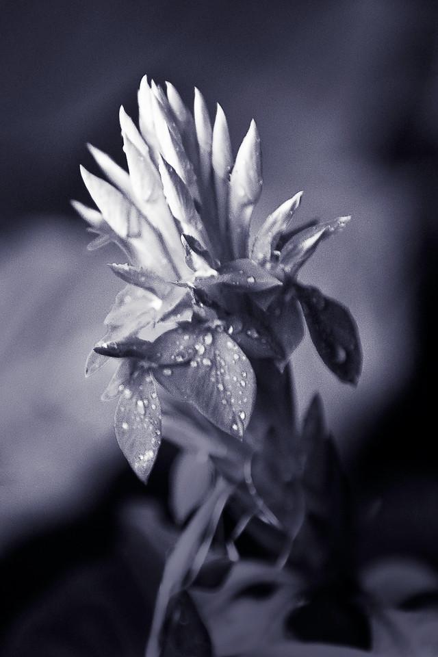 Orchid #3, Monochrome