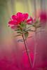 Azalea Blossoms #4