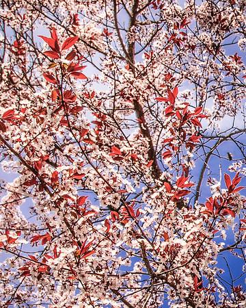 Plum Tree Blossoming #1
