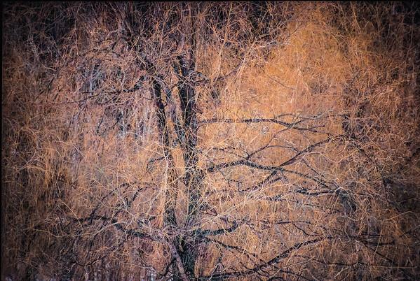 Vermont Willow Tree