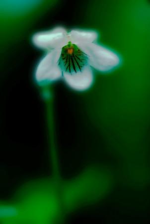 White Wildflower, Stylized