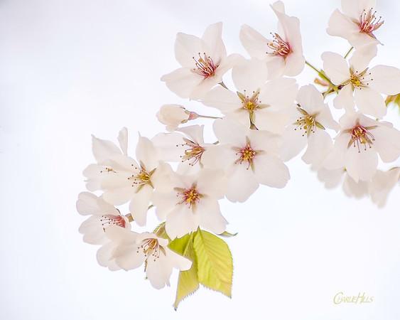 Cherry Tree Blossoms #6