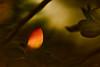 """Glowing"" Azalea Bud"