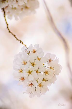 Cherry Tree Blossoms #2