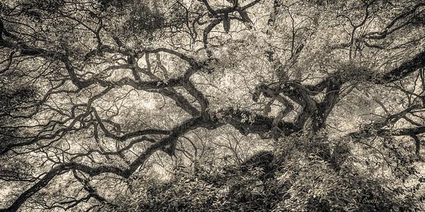 Angel Oak Creature