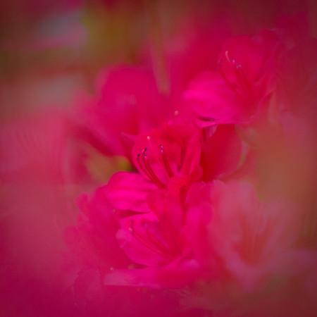 Azalea Blossoms #3
