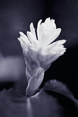 Orchid #1, Monochrome