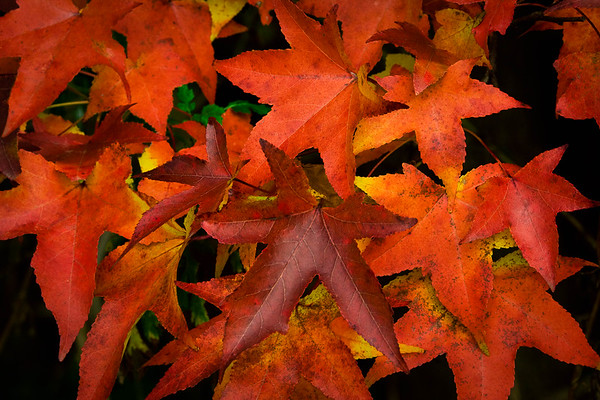 Red and Orange Fall Leaves