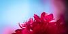 Azalea Blossoms #2