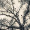Oak Grove Canopy #2, Sepia