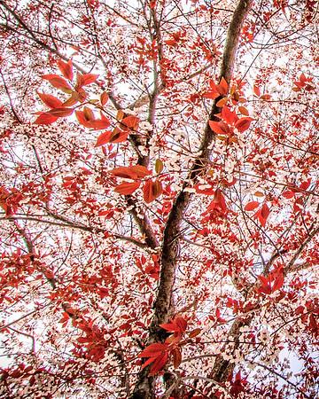 Plum Tree Blossoming #2