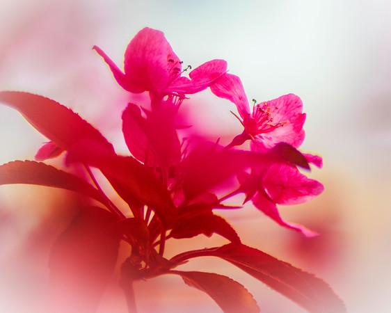 Azalea Blossoms #1