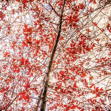 Plum Tree Blossoming #3