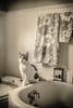 Cat on Bath Tub, Sepia