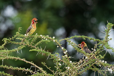 Red and Yellow Barbets performing a duet
