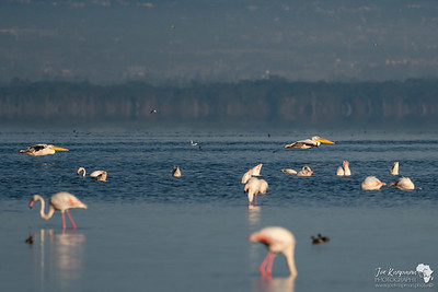 Great White Pelicans fly through the bird life in Lake Nakuru