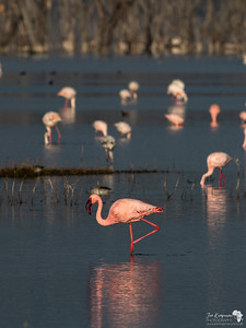 Lesser Flamingo on Lake Nakuru