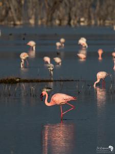 Lesser Flamingo on Lake Nakuru