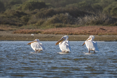 Great White Pelicans at Swakopmund