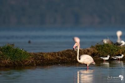 Greater Flamingo In Nakuru