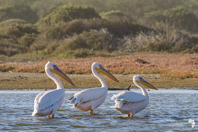 Great White Pelicans in the Swakop lagoon