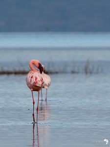 Lesser Flamingo @ Nakuru