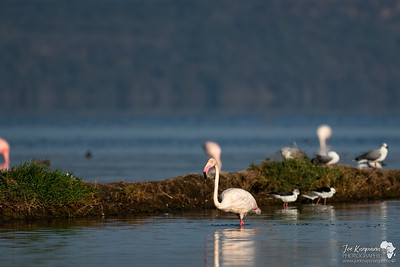 A greater flamingo