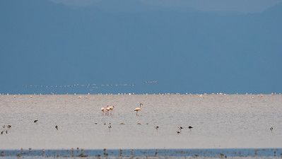 Greater Flamingo on the Alkaline waters of Lake Manyara