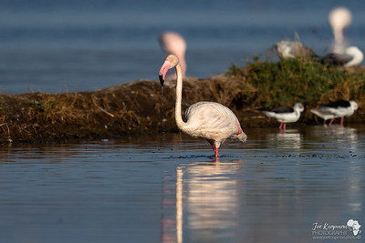 Greater Flamingo @ Lake Nakuru