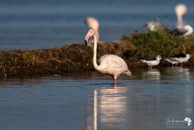 Greater Flamingo @ Lake Nakuru