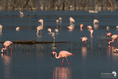 Lesser Flamingos in Lake Nakuru