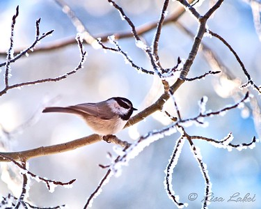 WINTER CHICKADEE. Mountain chickadees are ever present here but even more so during the winter when they are more active and cheerful and make cold winter months pass so much more enjoyably.